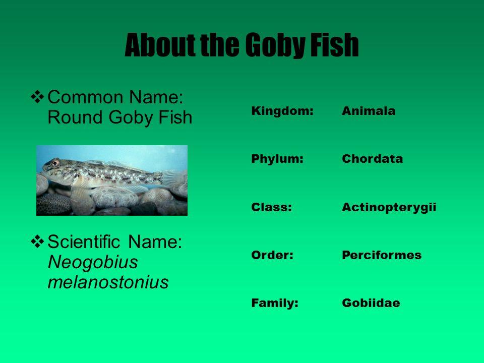 Round Goby Fish Neogobius Melanostonius Ppt Video Online
