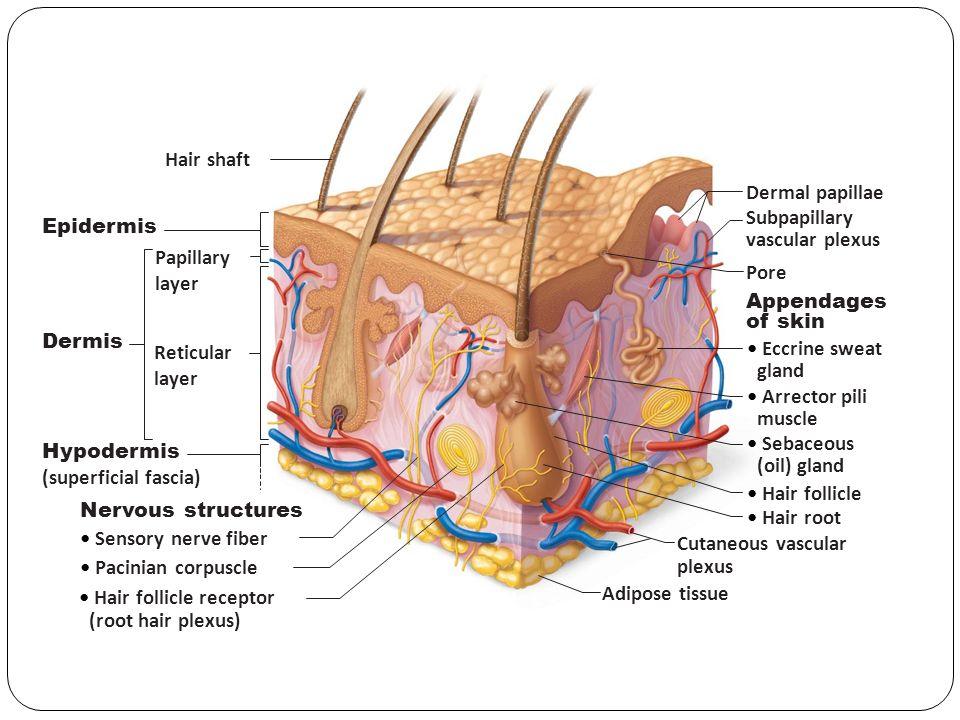 Skin And Dermal Papillae Essay Academic Service Qnhomeworkxqrq