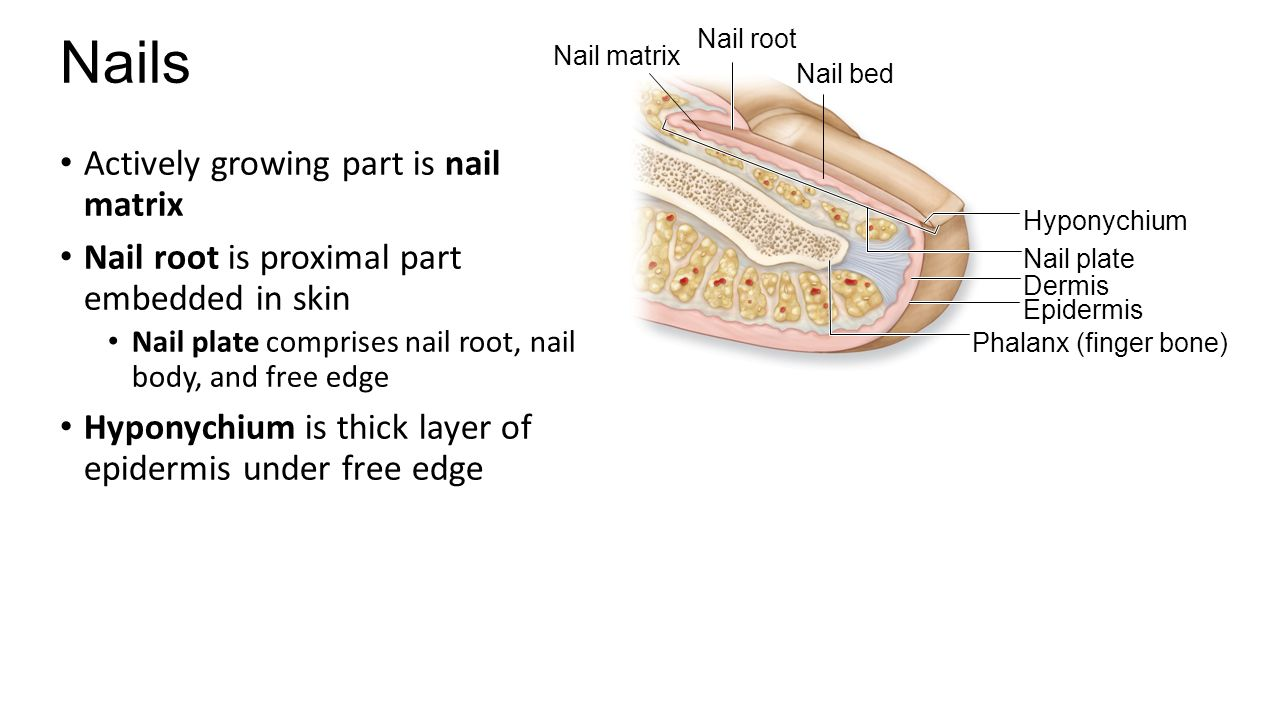 how to grow flesh part of nails