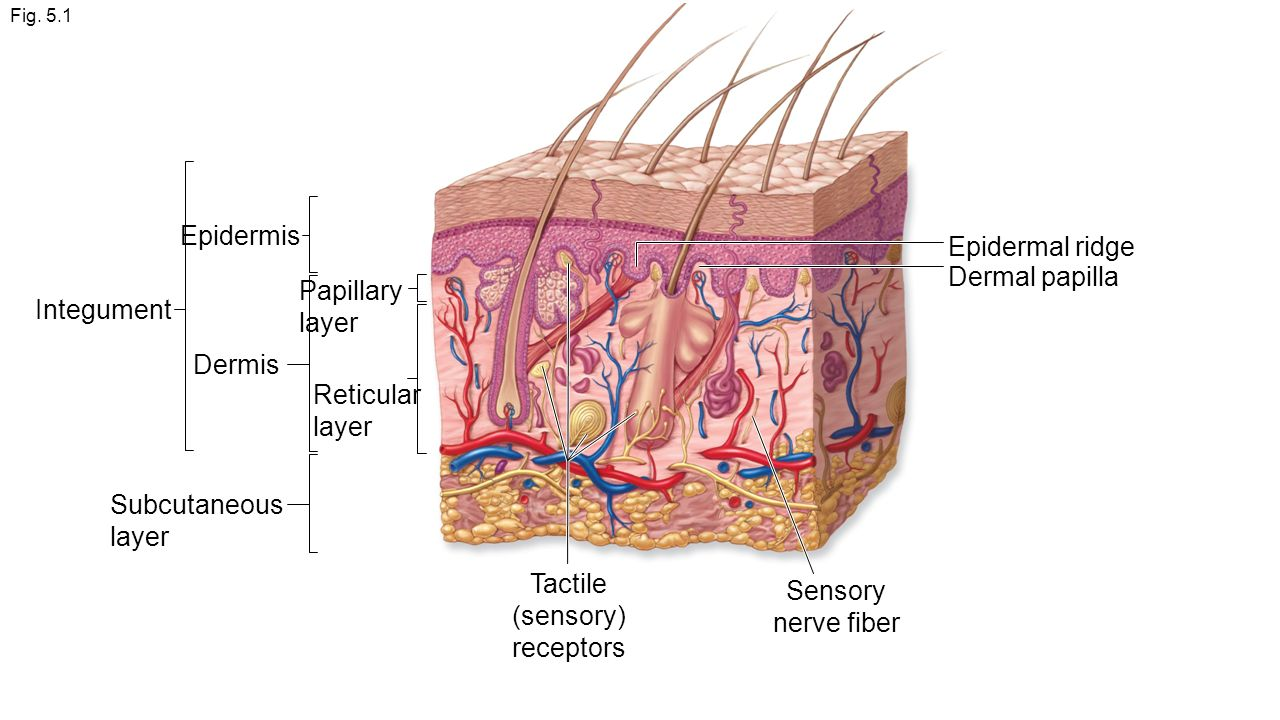 discuss the epidermal and dermal layers The dermis or corium is a layer of skin between the epidermis (with which it makes up the cutis) and subcutaneous tissues, that primarily consists of dense irregular.