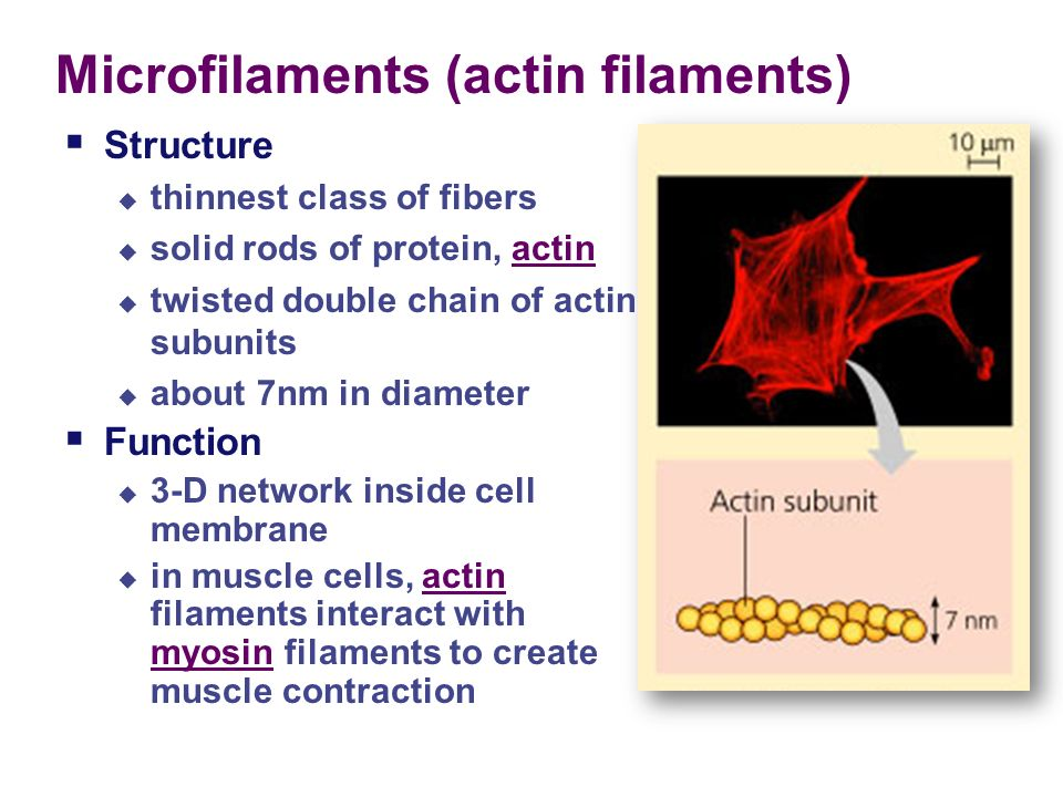 Chapter 5.3 & 5.4 The Cell: Cytoskeleton - ppt download