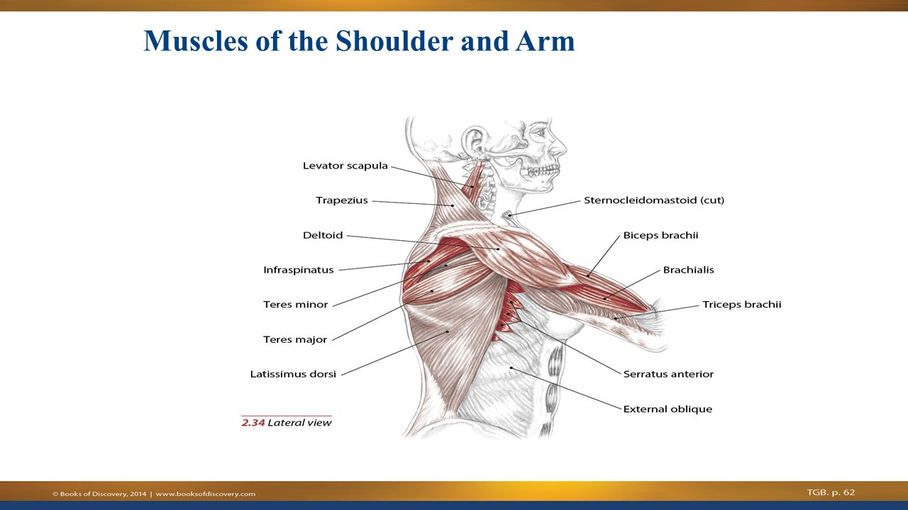 how to grow shoulder muscles