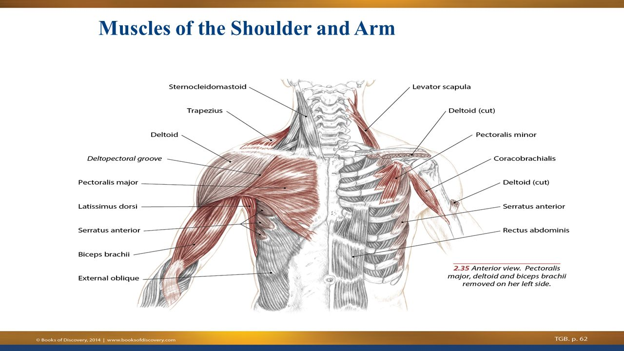Shoulder and arm anatomy
