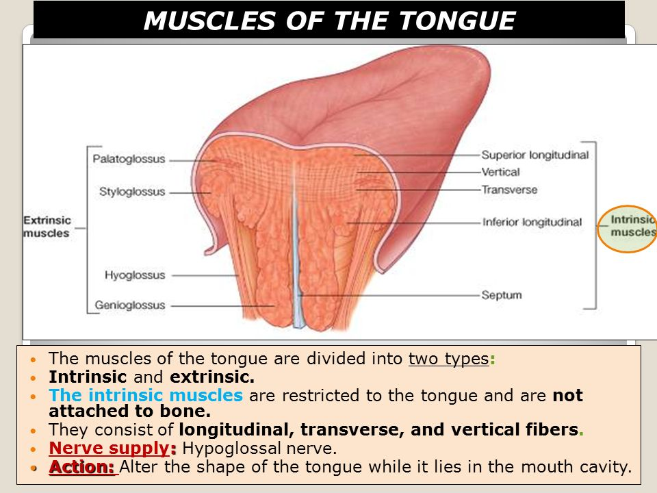 Fantastic Tongue Muscles Anatomy Pattern Anatomy And Physiology