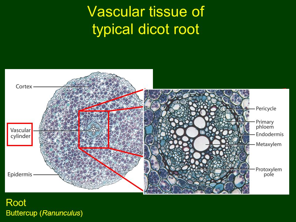 avascular tissue What is an adavntage of epithelial tissue being avascular and how can epithelial tissue cells carry on metabolic processes even though they are avascular.