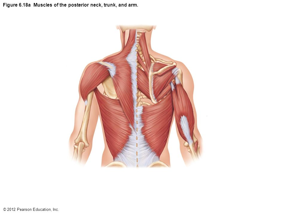table 6 1 comparison of skeletal  cardiac  and smooth muscles  1 of 3
