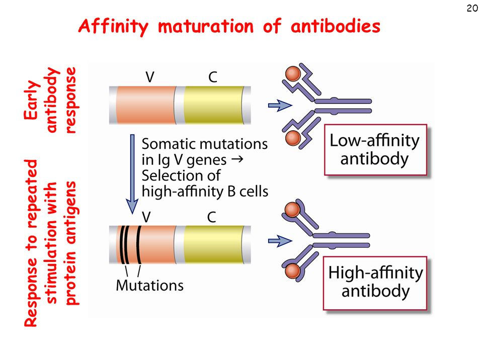 What Is Affinity Maturation