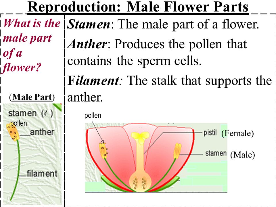 male flower parts 1 stamen anther filament ppt video