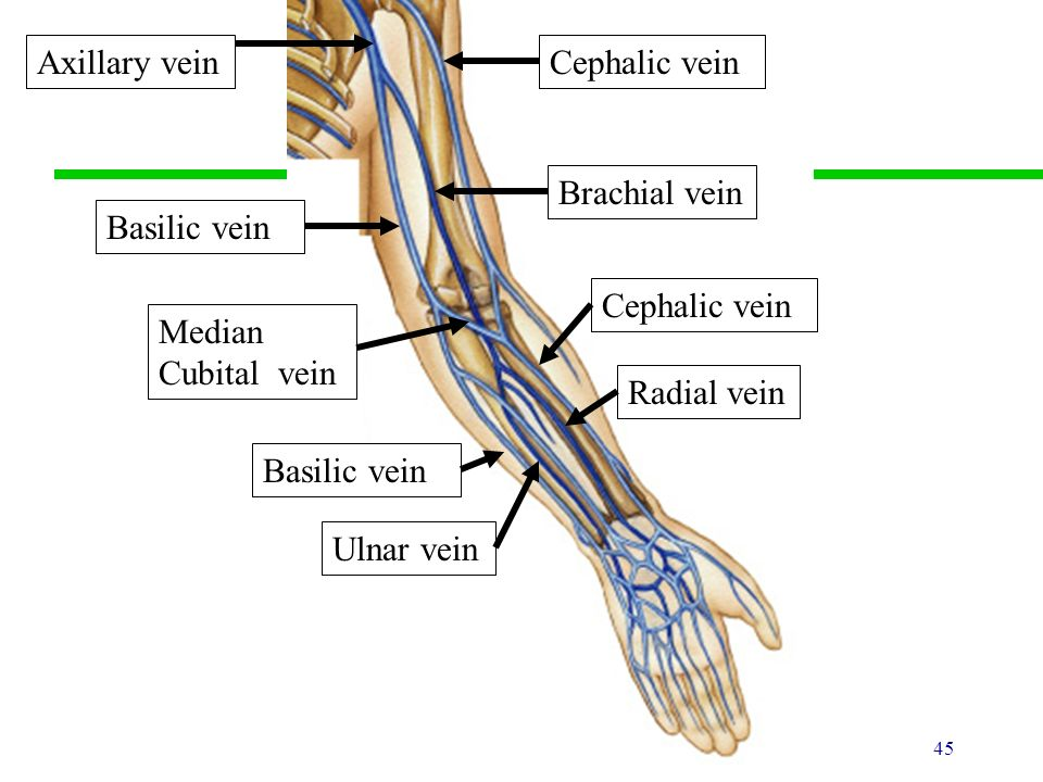 blood vessels & circulation - ppt download, Cephalic Vein