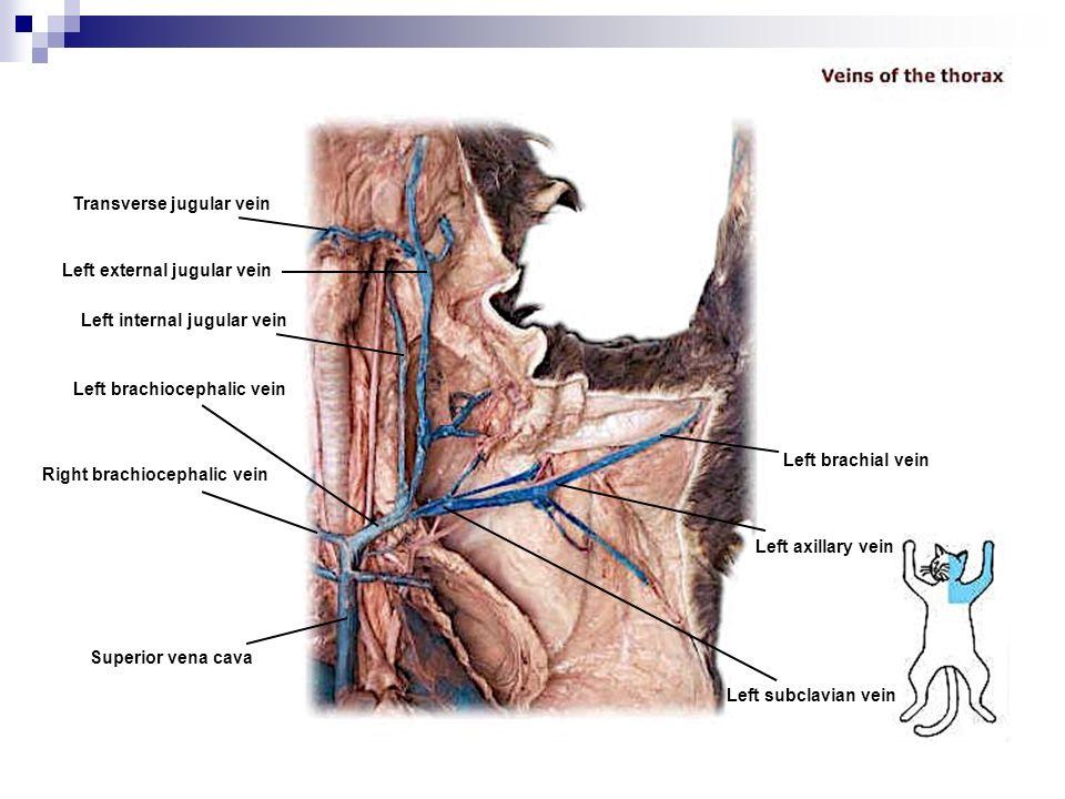 Ziemlich Brachiocephalic Vene Fotos - Menschliche Anatomie Bilder ...