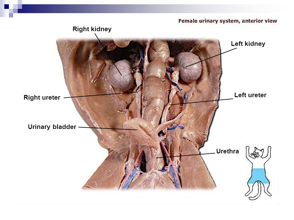 Fetal pig urinary bladder diagram mink urogenital system diagram wiring library ccuart Gallery