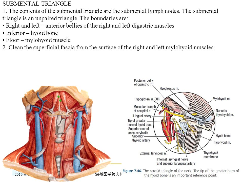 Parts And Regions Of The Neck Ppt Download