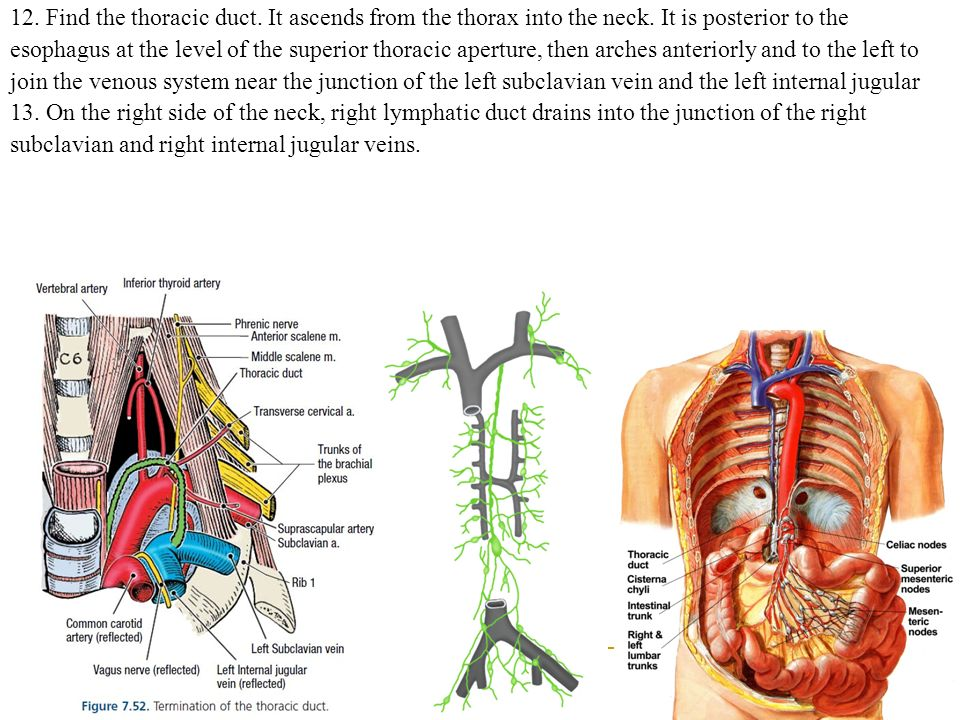 Funky Left Internal Jugular Vein Anatomy Model - Human Anatomy ...