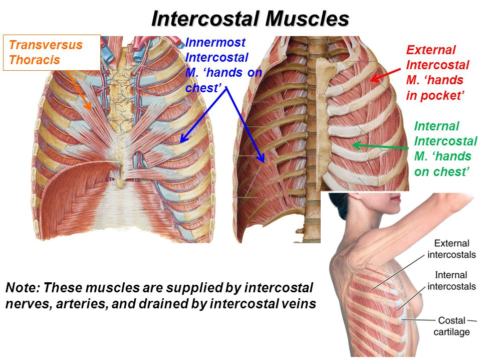 Intercostal muscles anatomy 6302420 - follow4more.info