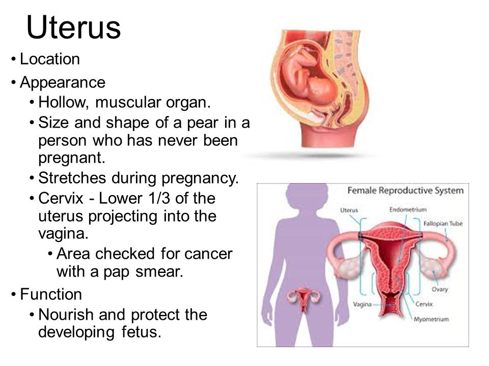 Reproductive System Students Will Identify The Major Organs Of The