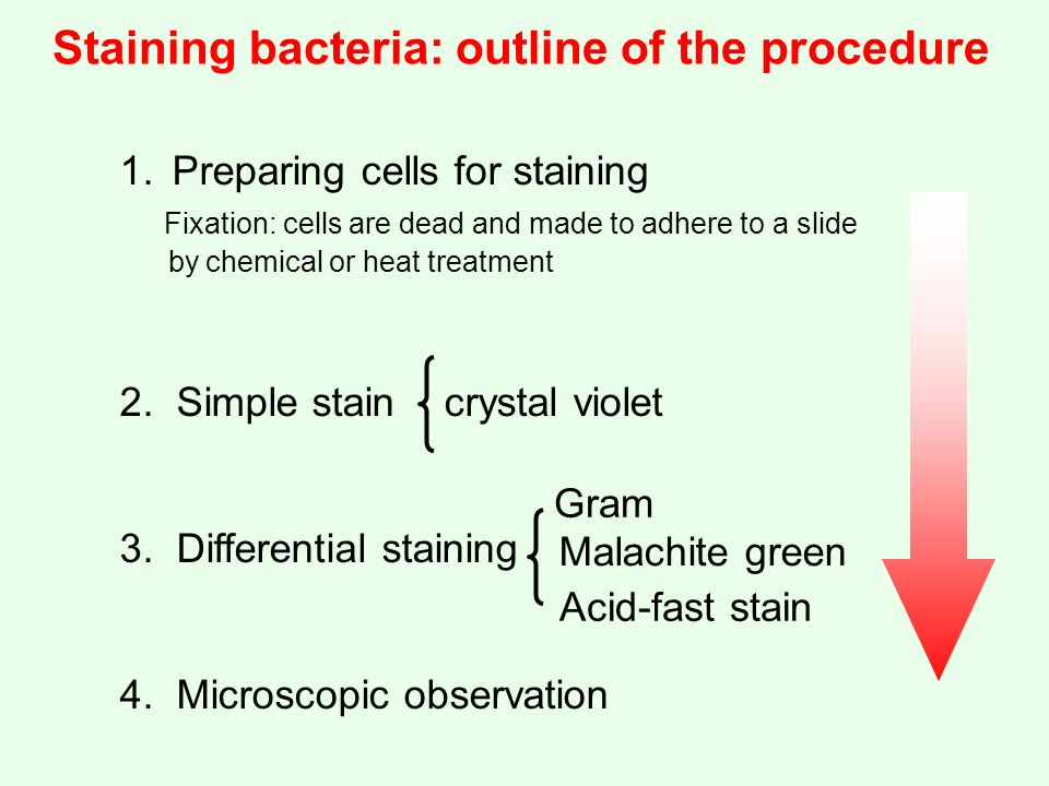 acid fast staining procedure pdf