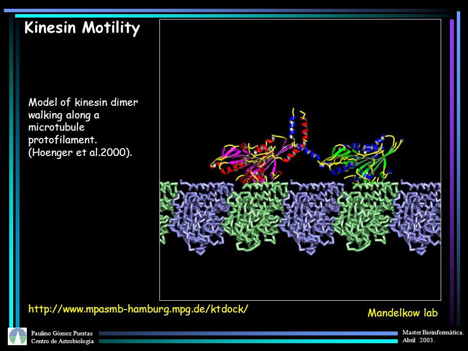 Kinesin Motility Model of kinesin dimer walking along a microtubule protofilament. (Hoenger et al.2000).