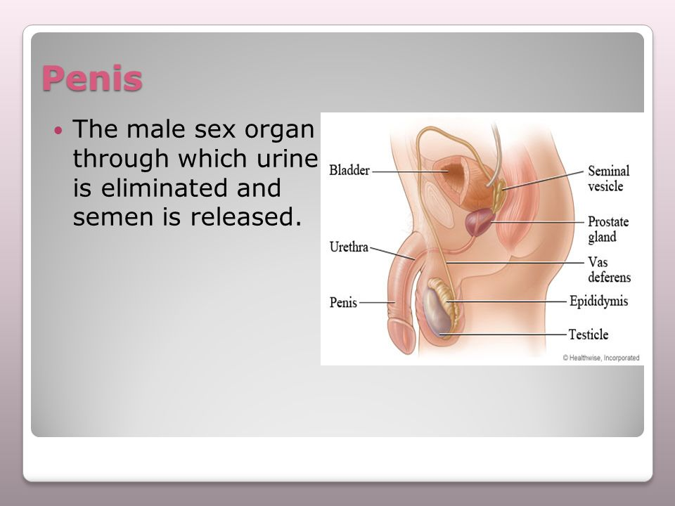 Penis The male sex organ through which urine is eliminated and semen is released.
