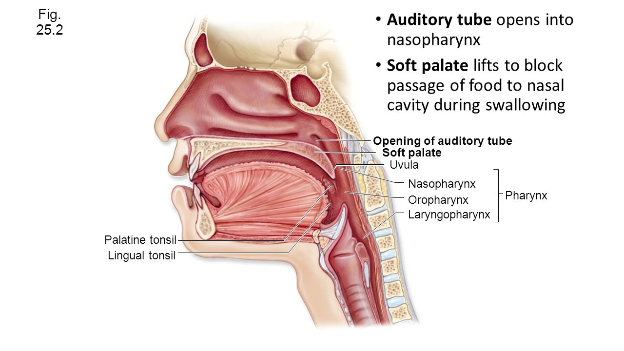 Funky Auditory Tube Pattern - Physiology Of Human Body Images ...