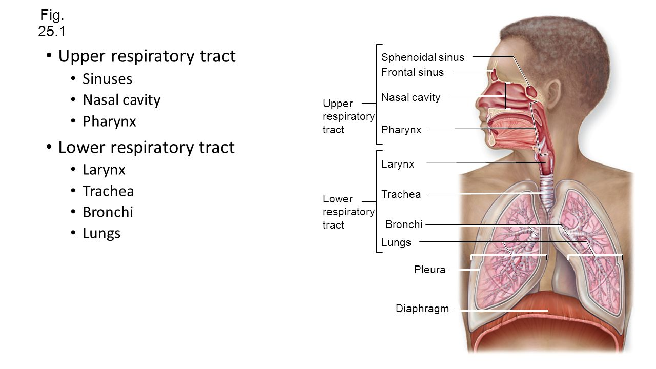 Chapter 10 Respiratory System - induced.info