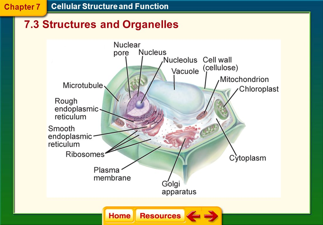 plant and animal cell structure Learn the structure of animal cell and plant cell under light microscope cell is a  tiny structure and functional unit of a living organism containing.
