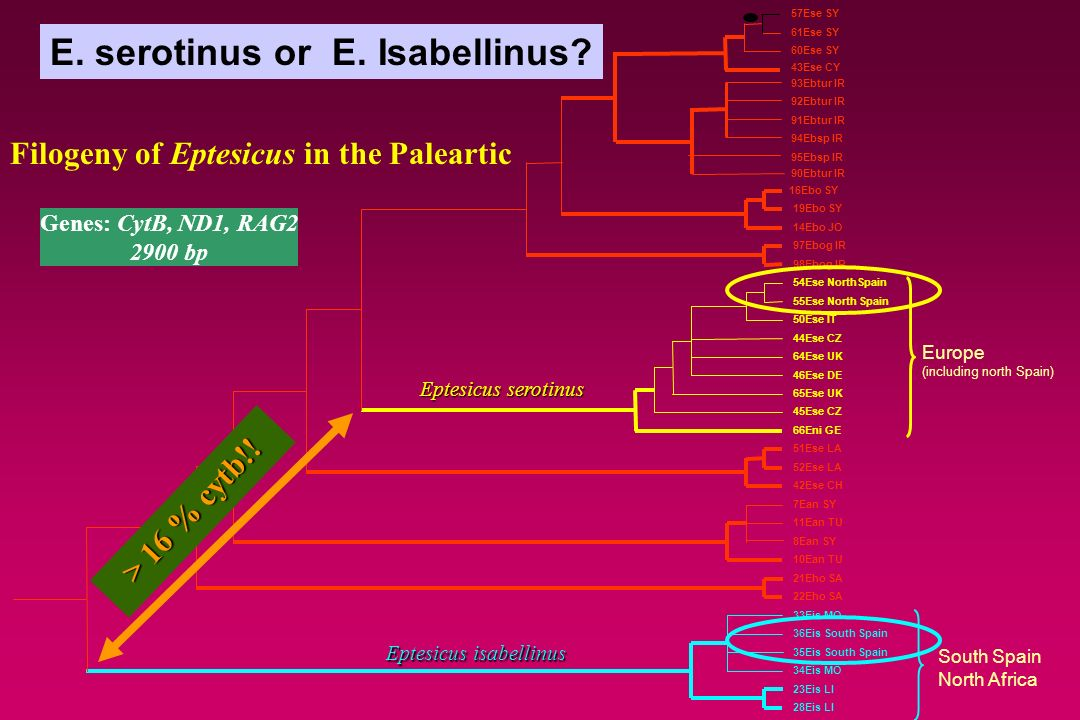 Eptesicus isabellinus