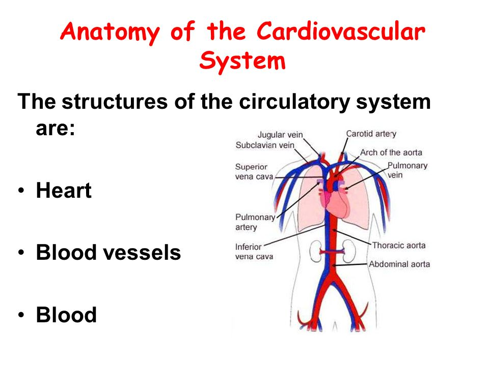 the structure of the cardiovascular or circulatory system Circulatory system in human is considered from the closed type , as the blood vessels are connected together with the heart in a complete circuit through which the blood passes , structure of human circulatory system : heart, blood vessels and blood.