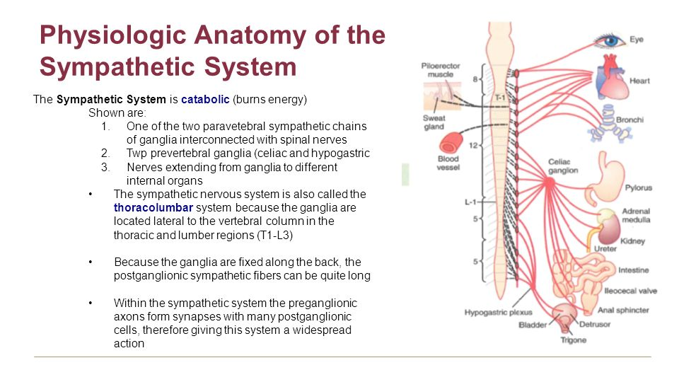 Sympathetic Nervous System Anatomy