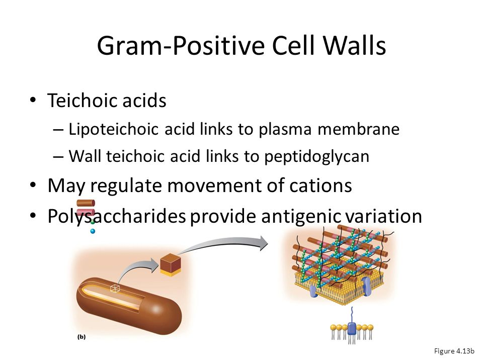 gram positive Gram-positive relating to a group of bacteria that turn a dark-blue color when subjected to a laboratory staining method known as gram's method.