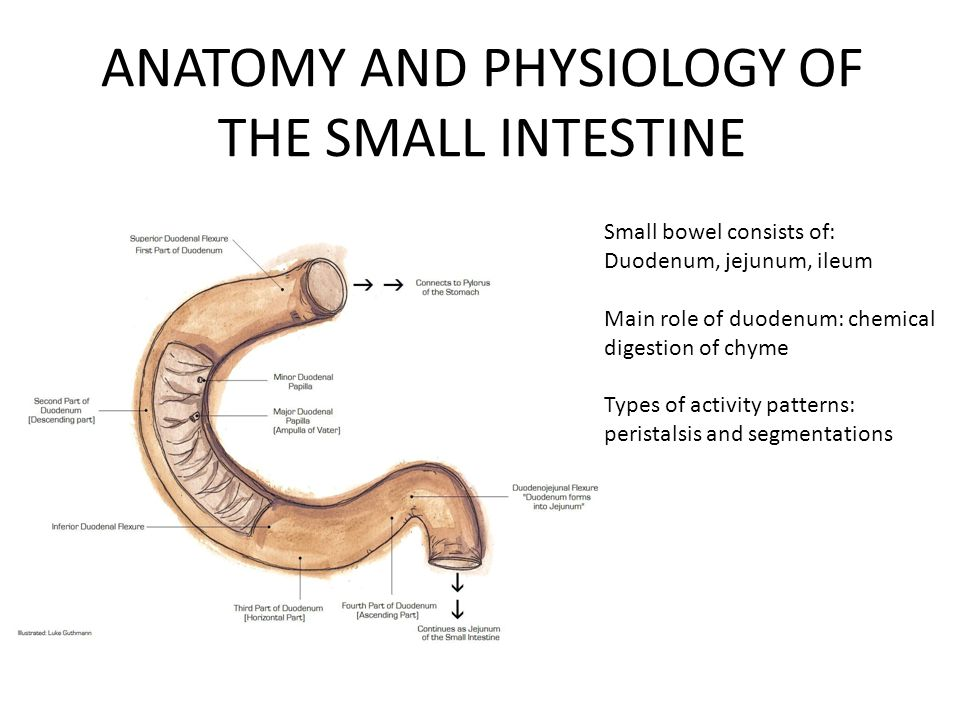 Schön Anatomy And Physiology Of Small Intestine Galerie ...