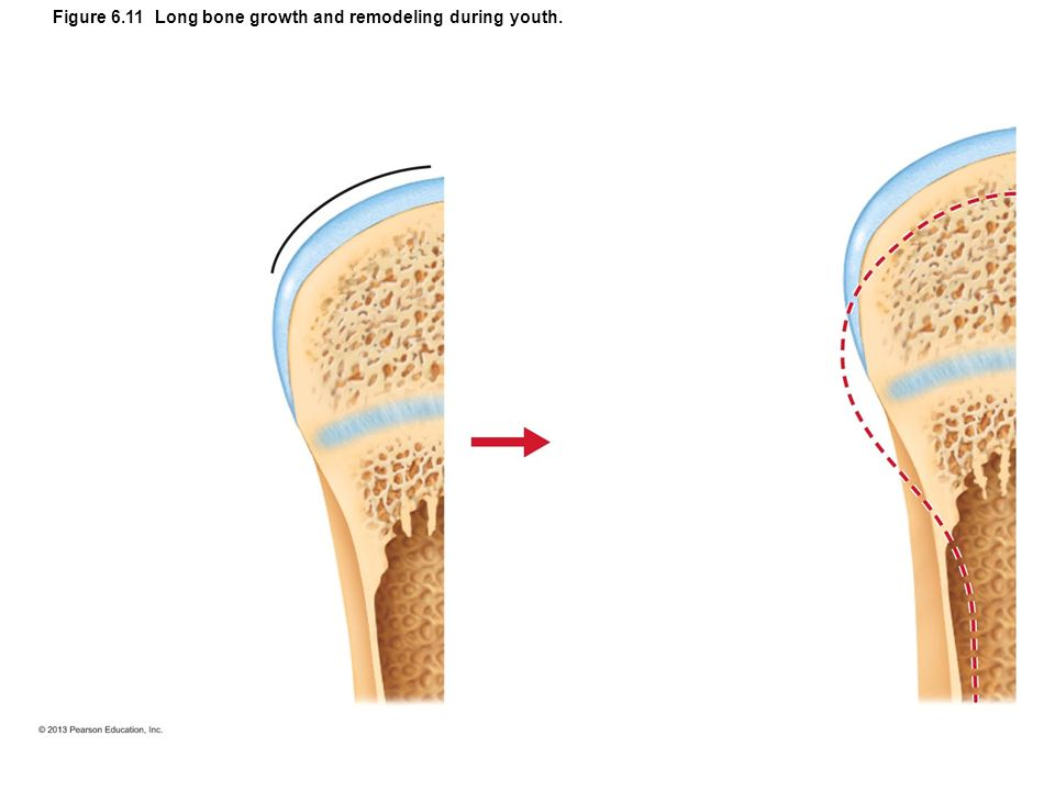 bone growth and remodeling Bone growth and remodeling as a measure of nutritional stress rebecca huss -ashmore university of massachusetts - amherst follow this and additional.