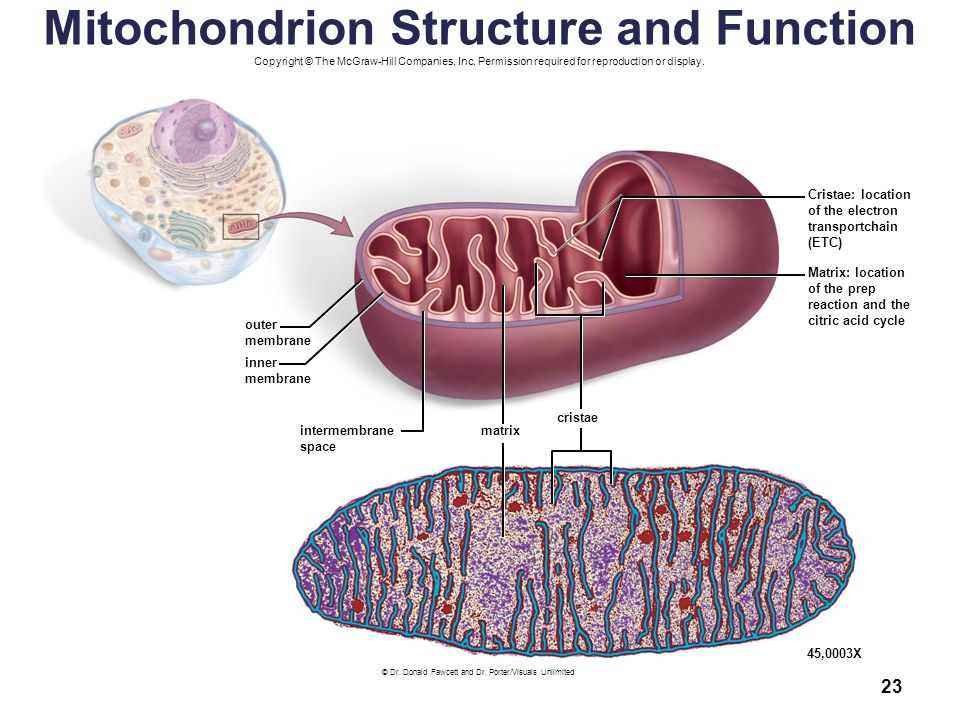 an analysis of the role of mitochondria in respiration The main purpose of cellular respiration is to convert biochemical energy from nutrients into adenoside triphosphate, or atp, a chemical energy needed by cells to perform certain functions muscle and brain nerve cells require energy that contains a high number of mitochondria to perform effectively.