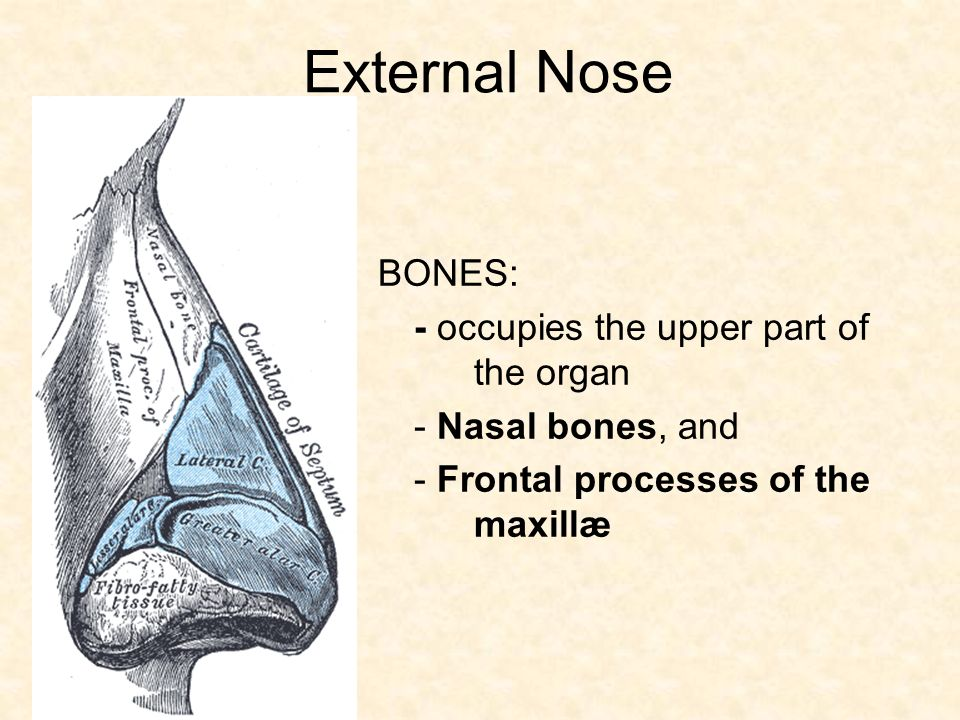 Fine Anatomy Of External Nose Pattern Human Anatomy Images