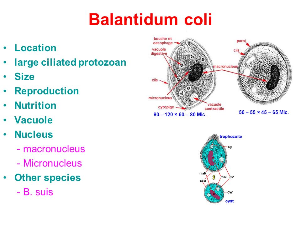 balantidium coli life cycle pdf
