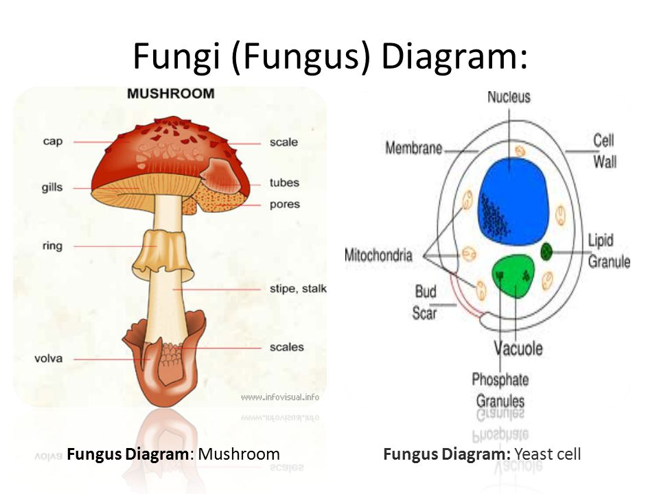 Fungal Cell Diagram Labeled