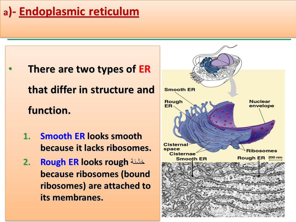 endoplasmic reticulum structure and function pdf