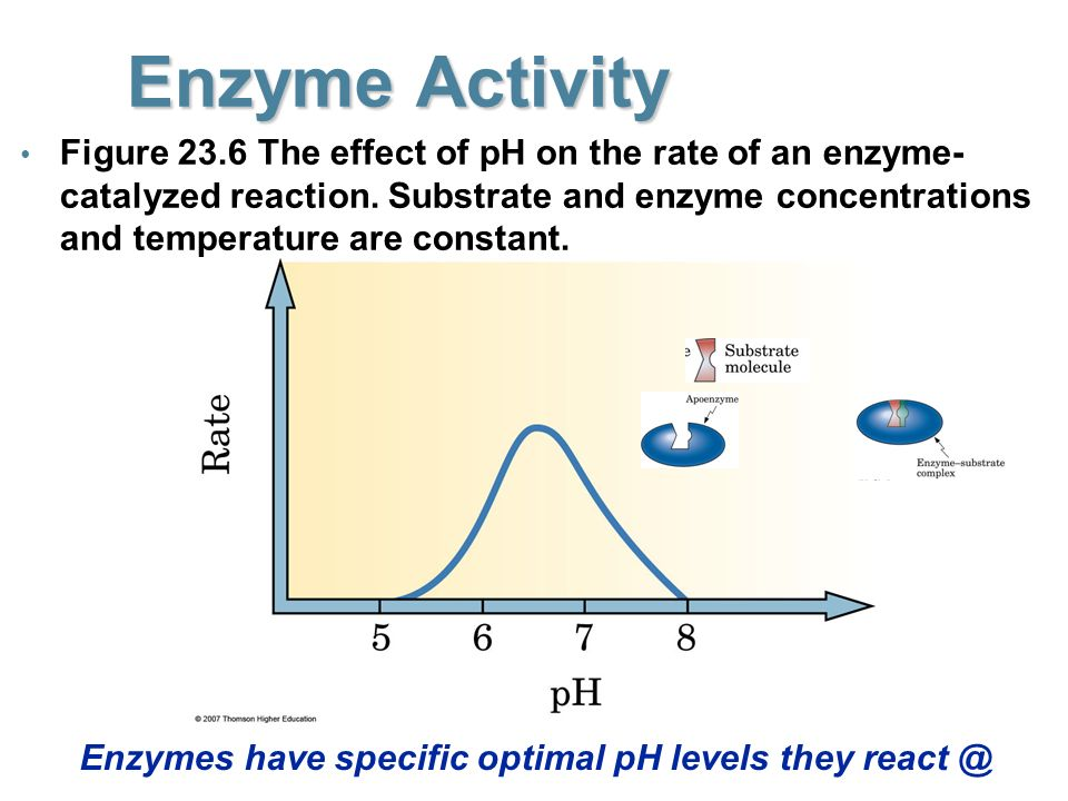 """the effect of ph levels on The effects of ph on if the ph is higher or lower than the optimal level first because the extreme acidic or extreme basic would effect the enzyme."