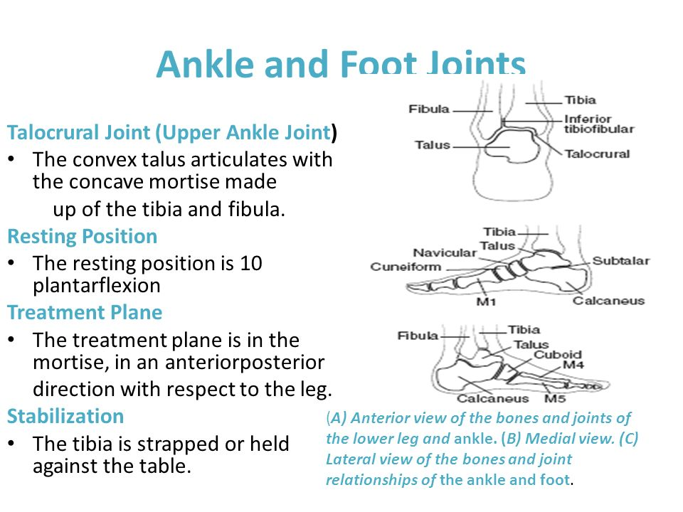 Ankle and Foot Joints Talocrural Joint (Upper Ankle Joint)