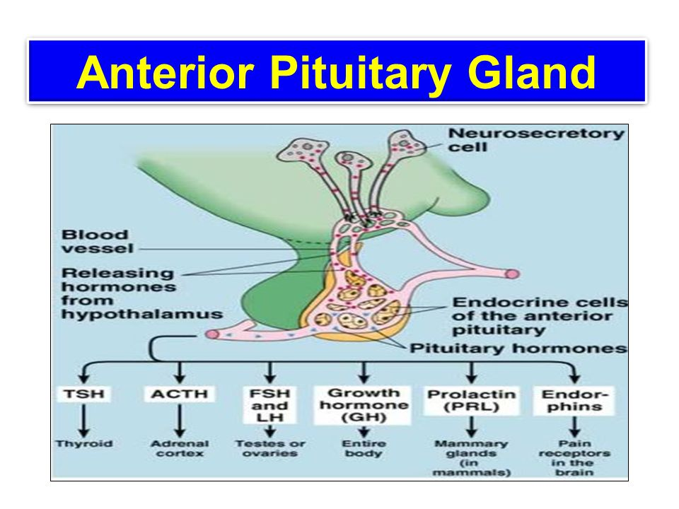 Anterior Pituitary Gland Ppt Video Online Download