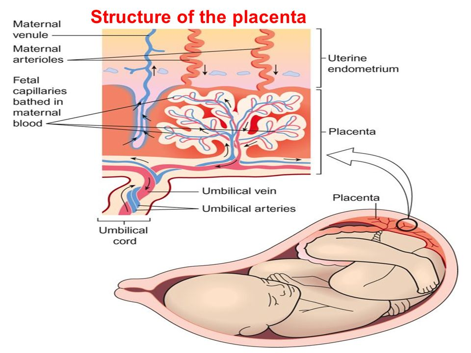 Structure of the placenta - ppt video online download