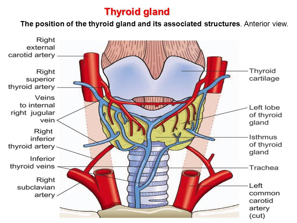 Anterior View Of Thyroid Gland
