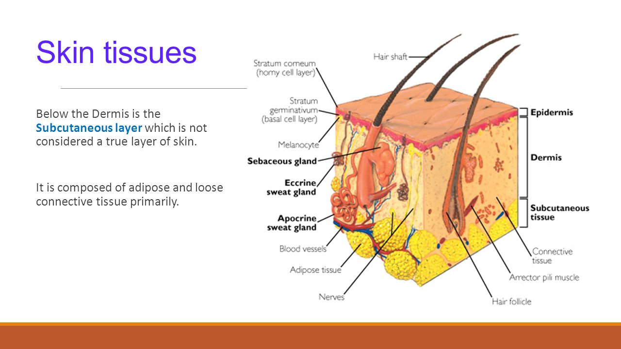 describe the types of epithelial and connective tissue found in the epidermis and dermis of the skin What is the type of tissue that forms the epidermis  this is the top layer of skin made up of epithelial cells  four basic primary types of tissue.