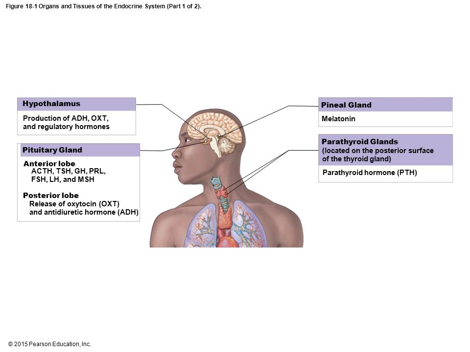 Endocrine System Case Study - ppt download