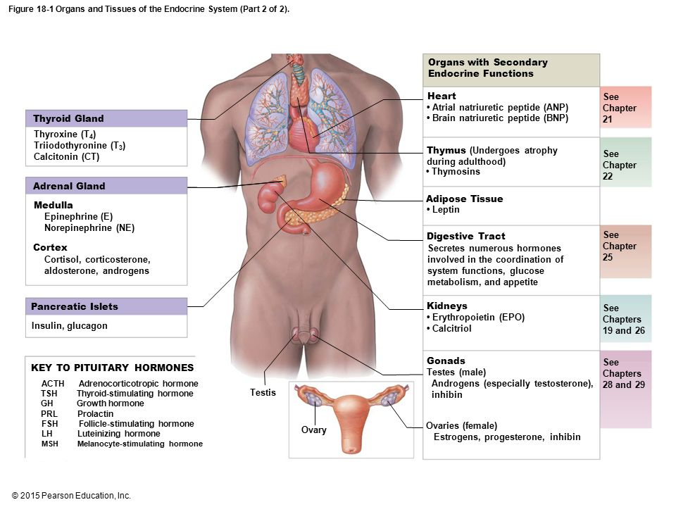 Ziemlich Anatomy And Physiology Of Endocrine System Zeitgenössisch ...