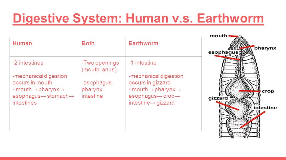 earthworm digestive system diagram gallery how to guide and refrence. Black Bedroom Furniture Sets. Home Design Ideas