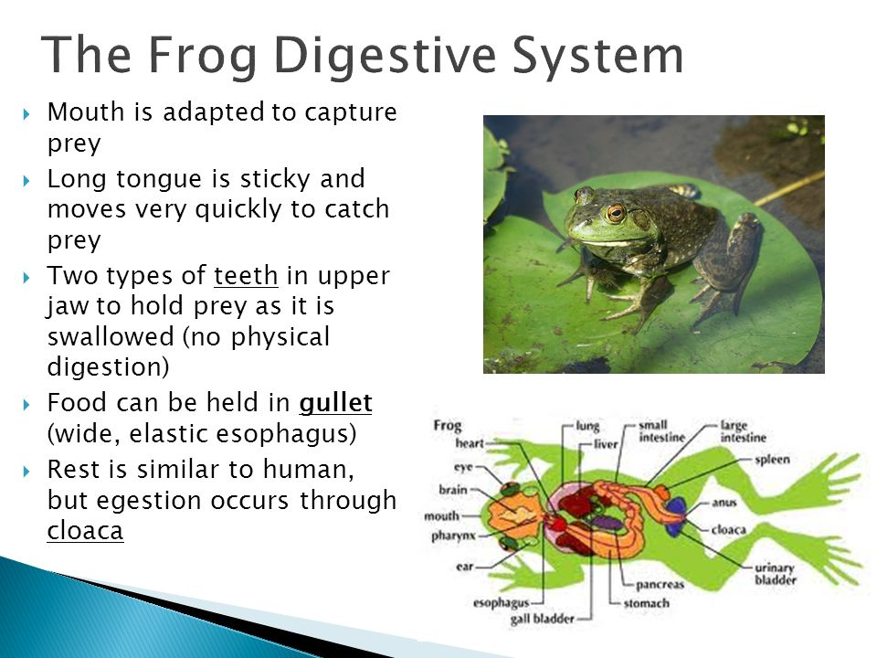 digestion and frog Frog body systems integumentary moist thin skin for respiration and protection (camouflage)  small intestine- bile and trypsin work here to finish digestion and .