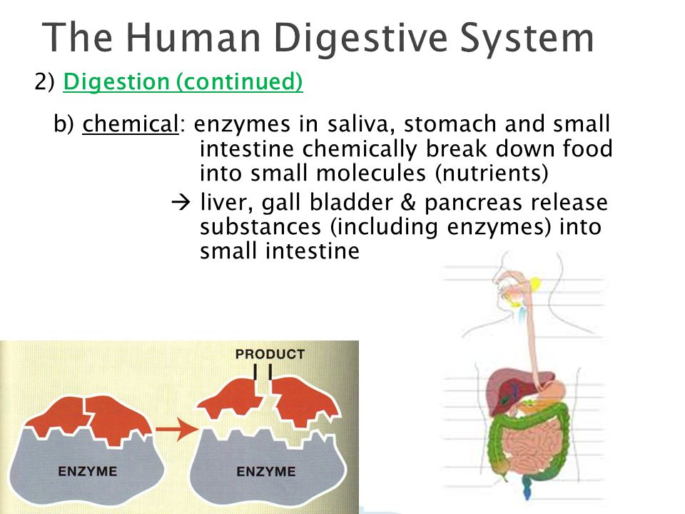 Can Enzymes Breakdown Food Molecules In The Pancreas