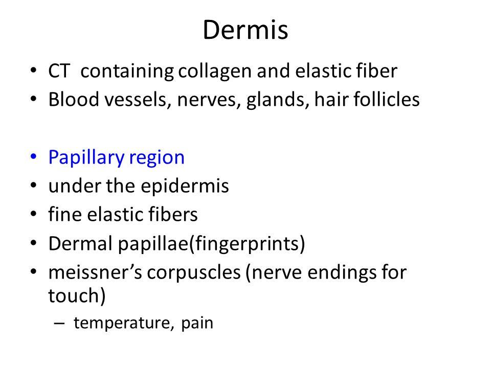 Dermis CT containing collagen and elastic fiber