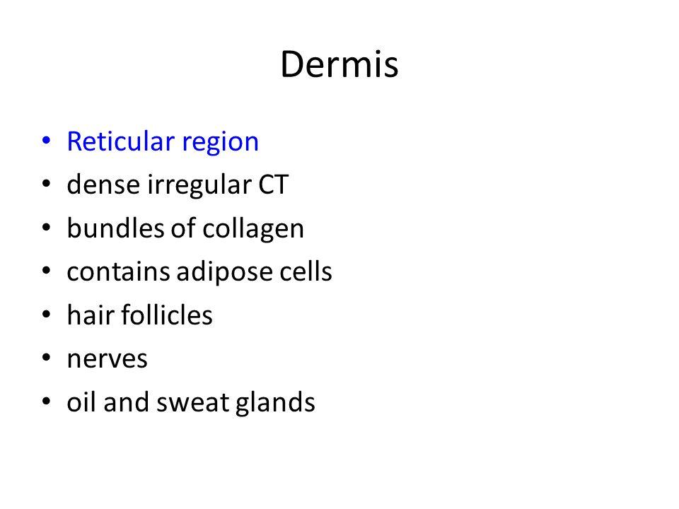 Dermis Reticular region dense irregular CT bundles of collagen