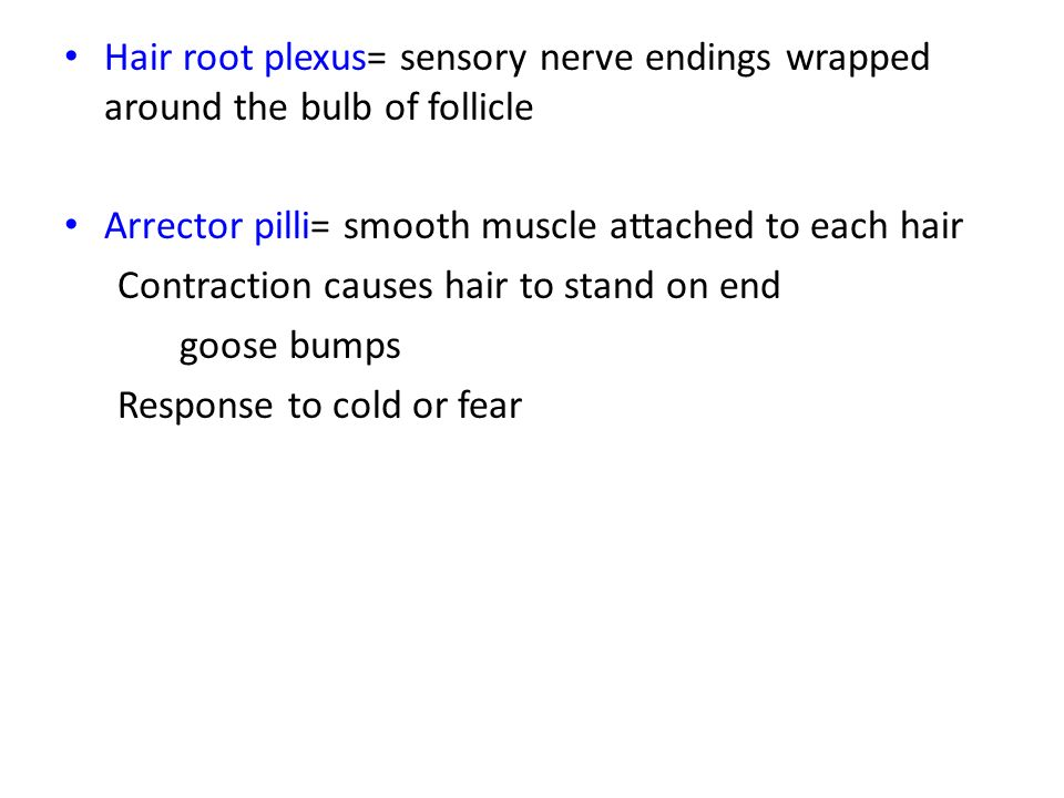 Hair root plexus= sensory nerve endings wrapped around the bulb of follicle